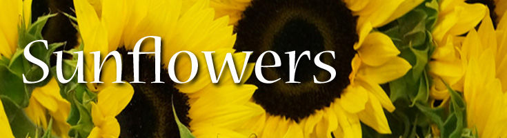 Sunflowers Fresh and Locally Grown
